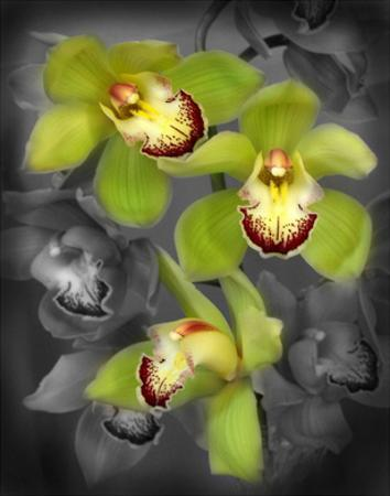 Cymbidium Orchid Green by Igor Maloratsky