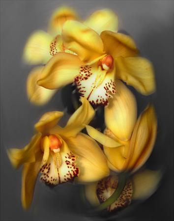 Cymbidium Orchid Yellow by Igor Maloratsky