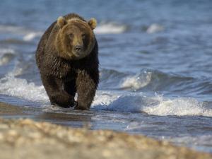 Brown Bear Beside Water, Kronotsky Nature Reserve, Kamchatka, Far East Russia by Igor Shpilenok