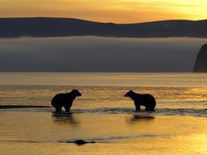 Brown Bears in Water at Sunrise, Kronotsky Nature Reserve, Kamchatka, Far East Russia by Igor Shpilenok