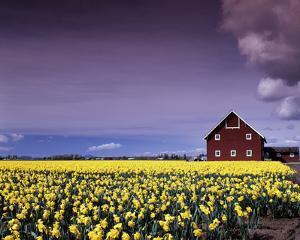 Barn in Daffodils by Ike Leahy