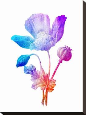 Poppy Seed Flower by Ikonolexi