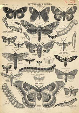 Illustration of Butterflies and Moths