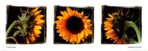 Sunflower Trio I by Ilona Wellmann