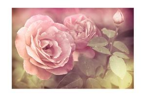 Abstract Romantic Pink Roses Flowers with Water Drops by Im Perfect Lazybones