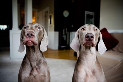 2 Weimaraners by Image by Erin Vey