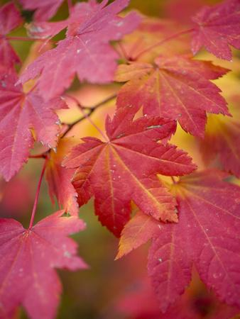 https://imgc.allpostersimages.com/img/posters/image-of-maple-tree-in-fall_u-L-Q10T6WK0.jpg?p=0