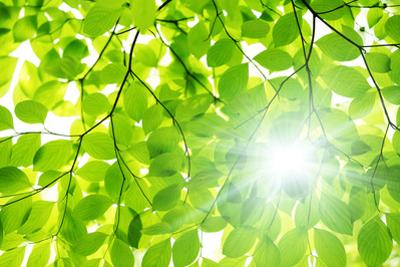 Sunlight through Beech Tree Leaves by imagewerks