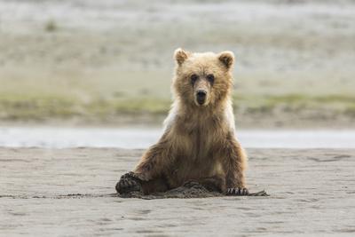 https://imgc.allpostersimages.com/img/posters/immature-coastal-grizzly-bear-sits-on-beach-lake-clark-national-park-alaska_u-L-Q1CZTSP0.jpg?p=0