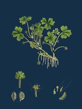 Impatiens Parviflora; Small Balsam