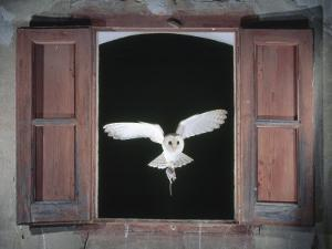 Barn Owl Flying into Building Through Window Carrying Mouse Prey, Girona, Spain by Inaki Relanzon