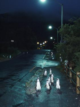 Black Footed Jackass Penguins Walking Along Road at Night, Boulders, South Africa by Inaki Relanzon