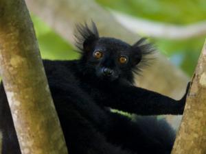Black Lemur Male, Nosy Komba, North Madagascar, Iucn Vulnerable by Inaki Relanzon