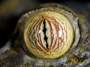 Close Up of Eye of Leaf Tailed Gecko Eye Detail, Nosy Mangabe, Northeast Madagascar by Inaki Relanzon