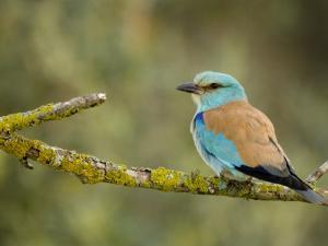 Common Roller Perched, South Spain by Inaki Relanzon
