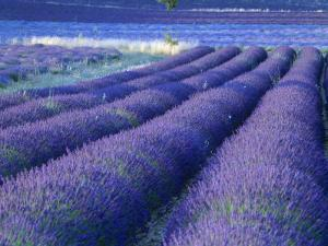 Field of Lavander Flowers Ready for Harvest, Sault, Provence, France, June 2004 by Inaki Relanzon