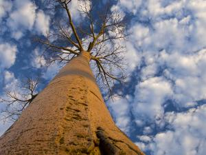 Looking Up at Baobab on Baobabs Avenue, Morondava, West Madagascar by Inaki Relanzon