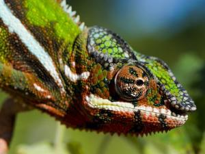 Panther Chameleon Showing Colour Change, Sambava, North-East Madagascar by Inaki Relanzon