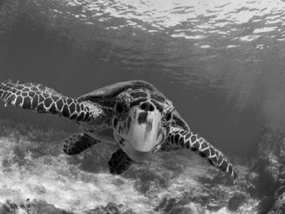 Sea Turtle, Swimming Underwater, Nosy Be, North Madagascar