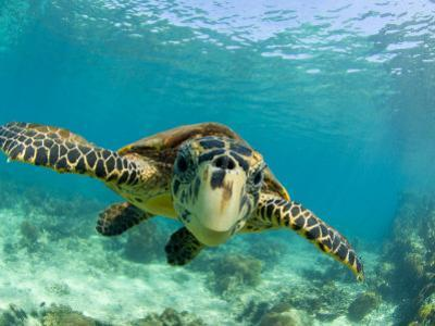 Sea Turtle, Swimming Underwater, Nosy Be, North Madagascar by Inaki Relanzon