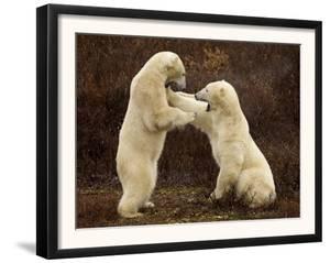Two Polar Bears Play Fighting, Churchill, Hudson Bay, Canada by Inaki Relanzon