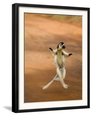Verreaux's Sifaka 'Dancing', Berenty Private Reserve, South Madagascar by Inaki Relanzon