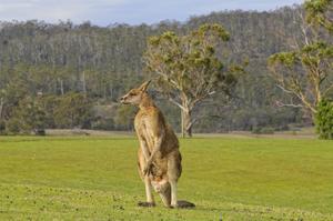 Kangaroo Look by Incredi
