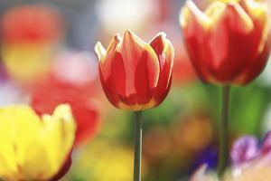 Tulip Abstraction (4) by Incredi