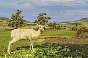 White Deer by Incredi