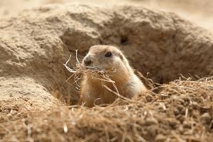 Prairie Dog by India1