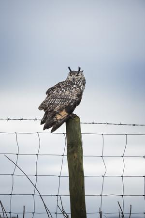 https://imgc.allpostersimages.com/img/posters/indian-eagle-owl-bubo-bengalensis-herefordshire-england-united-kingdom_u-L-PWFS1O0.jpg?p=0