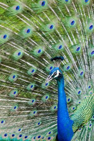 https://imgc.allpostersimages.com/img/posters/indian-peacock-pavo-cristatus_u-L-PWFHSZ0.jpg?p=0