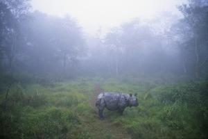 Indian Rhinoceros Standing in Morning Fog
