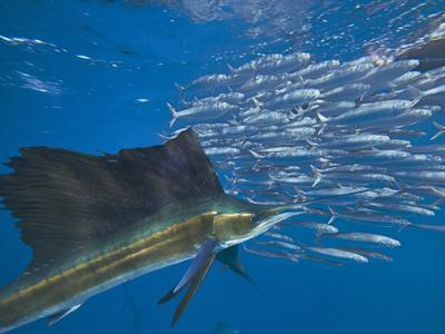https://imgc.allpostersimages.com/img/posters/indo-pacific-sailfish-and-schooling-sardines-isla-mujeres-mexico_u-L-Q1D0G680.jpg?p=0