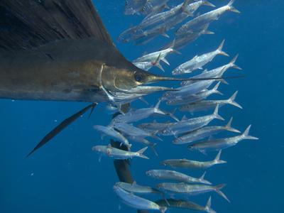https://imgc.allpostersimages.com/img/posters/indo-pacific-sailfish-and-wounded-sardines-isla-mujeres-mexico_u-L-Q1D0CQJ0.jpg?p=0