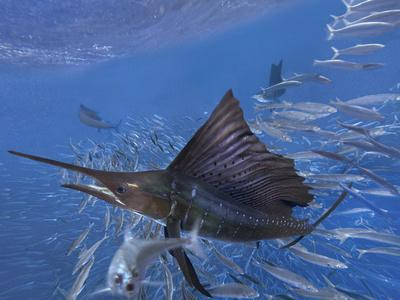 https://imgc.allpostersimages.com/img/posters/indo-pacific-sailfish-attacking-a-school-of-sardines-isla-mujeres-mexico_u-L-Q1D0DB20.jpg?p=0