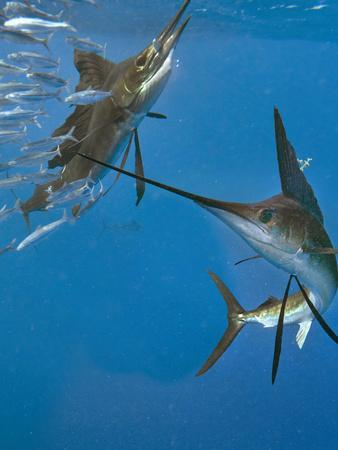 https://imgc.allpostersimages.com/img/posters/indo-pacific-sailfish-eating-sardines-isla-mujeres-mexico_u-L-Q1D0FVT0.jpg?p=0