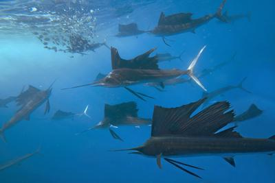 https://imgc.allpostersimages.com/img/posters/indo-pacific-sailfish-group-hunting-for-sardines-isla-mujeres-mexico_u-L-Q1D0FDK0.jpg?p=0