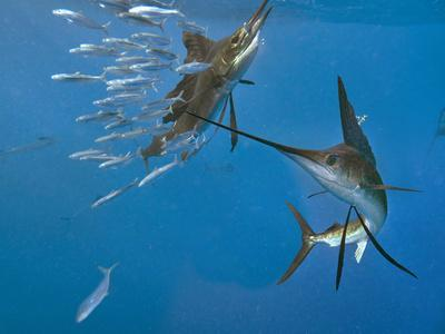 https://imgc.allpostersimages.com/img/posters/indo-pacific-sailfish-hunting-sardines-together-isla-mujeres-mexico_u-L-Q1D0DVJ0.jpg?p=0
