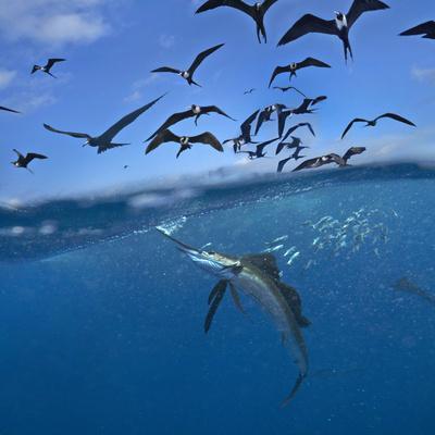 https://imgc.allpostersimages.com/img/posters/indo-pacific-sailfish-istiophorus-platypterus-frigatebirds-and-sardines-isla-mujeres-mexico_u-L-Q1D0L6K0.jpg?p=0