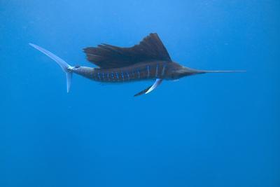 https://imgc.allpostersimages.com/img/posters/indo-pacific-sailfish-istiophorus-platypterus-isla-mujeres-mexico_u-L-Q1D0EKO0.jpg?p=0