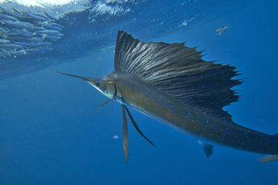 https://imgc.allpostersimages.com/img/posters/indo-pacific-sailfish-looking-at-a-school-of-sardines-isla-mujeres-mexico_u-L-Q1D0BP30.jpg?p=0