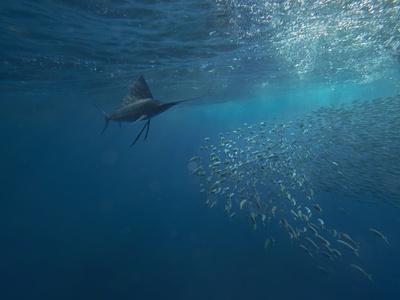 https://imgc.allpostersimages.com/img/posters/indo-pacific-sailfish-watching-sardines-isla-mujeres-mexico_u-L-Q1D0G320.jpg?p=0