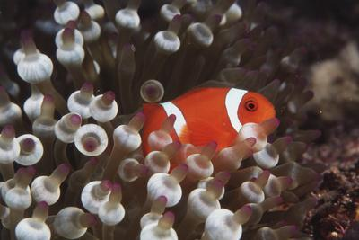 https://imgc.allpostersimages.com/img/posters/indonesia-komodo-island-view-of-spinecheek-anemonefish_u-L-PU3GSL0.jpg?p=0