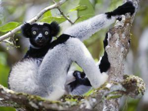 Indri Lemur Sitting on a Tree, Andasibe-Mantadia National Park, Madagascar
