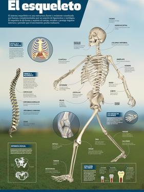 Infografía Del Esqueleto Humano, Detalle De Los Principales Huesos Y Diferencias Entre Sexos
