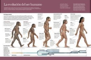 Infografía Sobre La Evolución De La Especie Humana, Del Australopithecus Hasta El Homo Sapiens