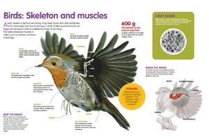 Infographic About the Body Structure of Birds, from their Skeleton to their Muscular System