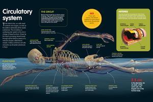 Infographic About the Human Circulatory System, its Functions, Main Arteries and Veins of the Body
