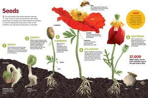 Infographic About the Process of Transformation from a Seed to a Plant